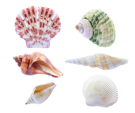 calcareous: seashell isolated on white background.