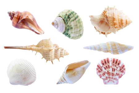 seashell: seashell isolated on white background.