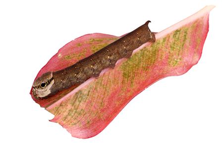 deilephila: butterfly caterpillar isolated on white background