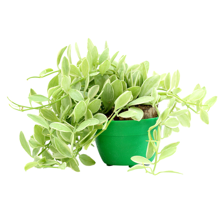 Ornamental climbing plants in pots on white background