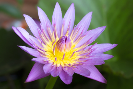 beautiful waterlily or lotus flower in pond Stock Photo
