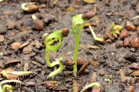 Close-up of green seedling growing out of soil, young green sprouts