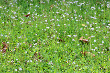 Grass field and the white dandelion flower in the fresh green background