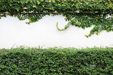 the green creeper plant on white wall background Reklamní fotografie
