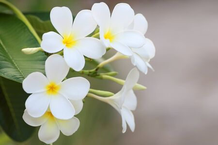 Plumeria flower white frangipani tropical flower, plumeria flower blooming on tree