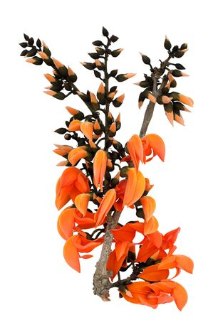 Beautiful orange palas flowers blooming on white background