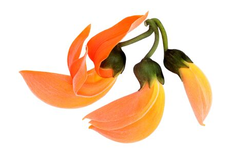 palas flower isolated on white background. orange flower.