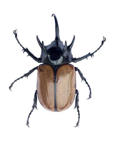 Brown five-horned rhinoceros beetle isolated on white background. 版權商用圖片