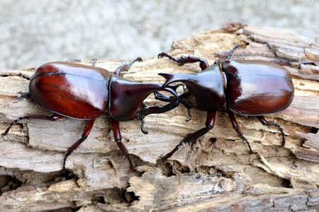 Dynastinae or rhinoceros beetles or fighting beetles on the tree with blurred background. Rhinoceros beetle, Hercules beetle.
