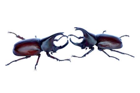 Dynastinae or rhinoceros beetles or fighting beetles on white background. Rhinoceros beetle, Hercules beetle.
