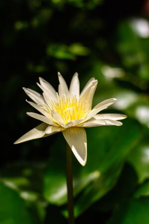 Close up  The white lotus bloom in the morning. Banque d'images - 132077183