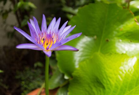 Close up Purple lotus with insects. Banque d'images - 132076908