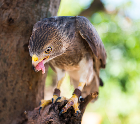 capture hawk in thailand Stock Photo