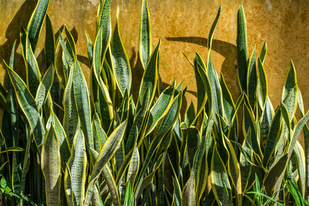 ornamental plant: snake plant Stock Photo