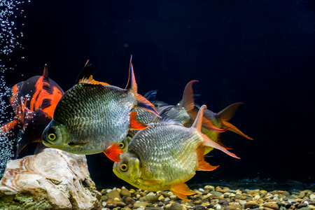 ornamental fish: Ornamental fish Stock Photo