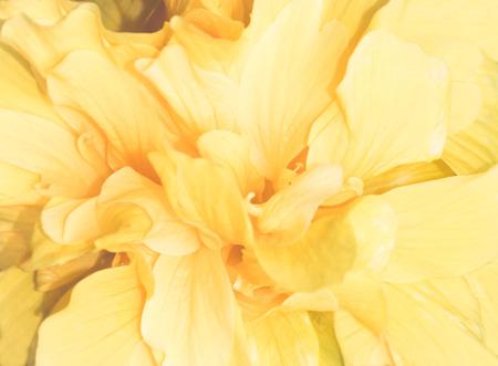 pedicel: yellow chinese rose