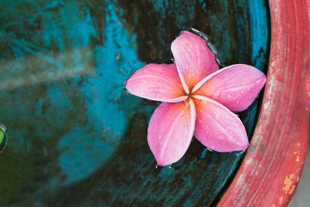 pink plumeria Standard-Bild