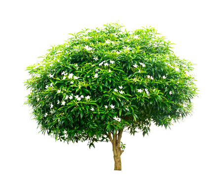 Tree isolated on white background, tropical tree isolated used for design.