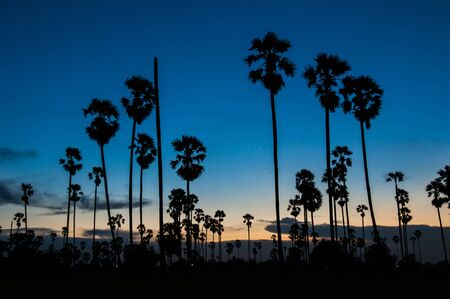 Silhouette of sugar palm tree on rice fields in Thailand photo