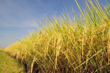 rice is the staple food of the Thai people and when the rice is yellow before harvests are beautiful  photo