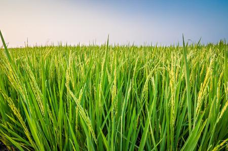 푸른 하늘 아래 논 쌀 필드에 쌀의 녹색 귀