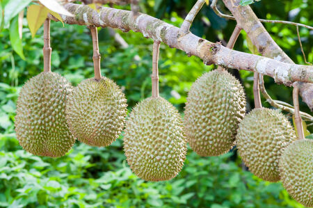 pungent: Fresh durian on tree in the orchard Stock Photo