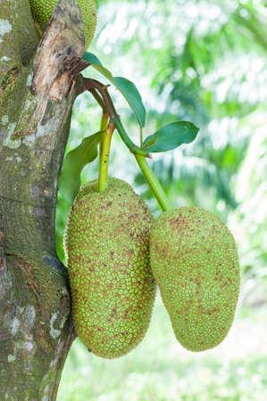 integer: fresh green artocarpus integer (champedak or bankong) on tree Stock Photo