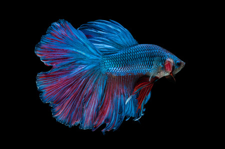 close-up of blue siamese fighting fish (betta splendens) isolated on black background photo