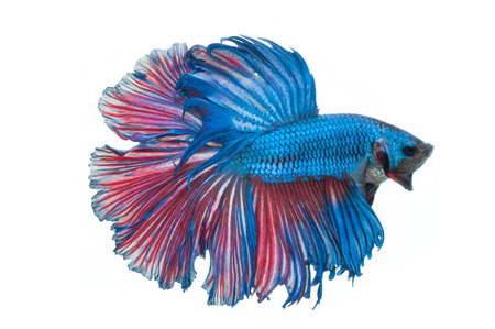 close-up of blue siamese fighting fish (betta splendens) isolated on white background photo