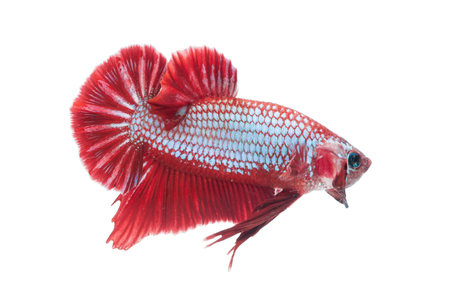 close-up of red siamese fighting fish (betta splendens) isolated on white background photo