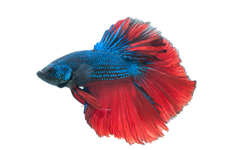 freshwater fish: close-up of red and blue siamese fighting fish (betta splendens) isolated on white background