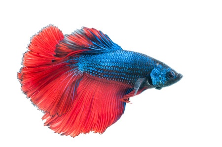blue siamese: close-up of red and blue siamese fighting fish (betta splendens) isolated on white background