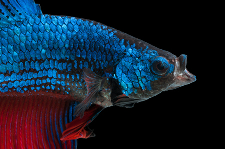 blue siamese: close-up of blue siamese fighting fish (betta splendens) with open mouth isolated on black background Stock Photo