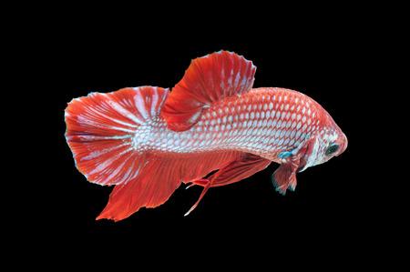 betta splendens: close-up of red siamese fighting fish (betta splendens) isolated on black background