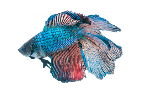 blue siamese: close-up of blue siamese fighting fish (betta splendens) isolated on white background
