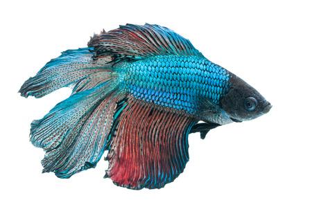 betta splendens: close-up of blue siamese fighting fish (betta splendens) isolated on white background