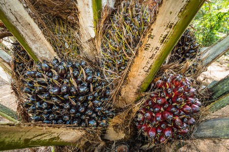 fresh fruit of the oil palm on the tree (elaeis guineensis) photo