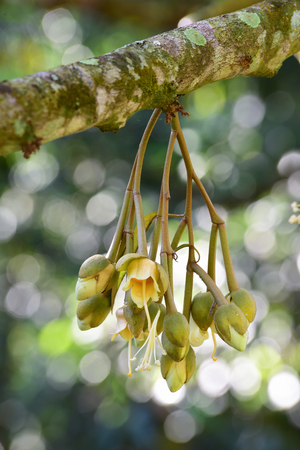 fresh flowers of durian on tree in the tropical orchard
