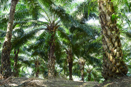 raw: row of oil palm trees in plantation (elaeis guineensis)
