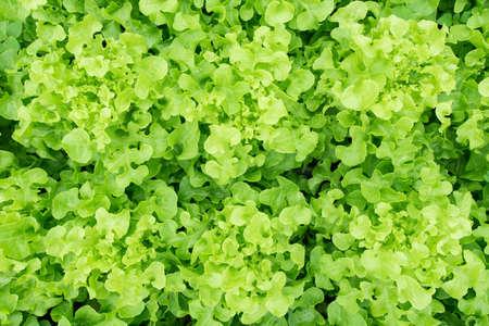 is green: Fresh green oak lettuce growing in vegetable garden Stock Photo