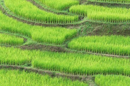 is green: Green rice terraced in the countryside