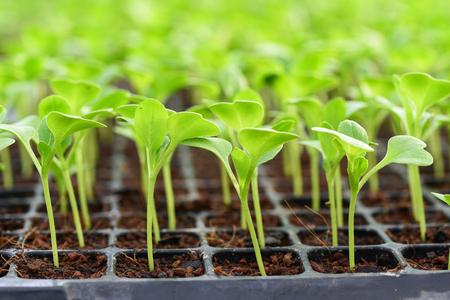 Pequeñas plántulas de lechuga creciendo en bandeja de cultivo Foto de archivo - 87877239