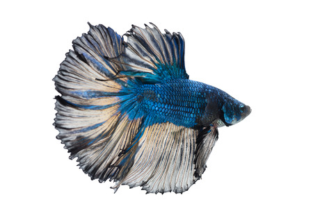 close-up of blue siamese fighting fish (betta splendens) isolated on white background