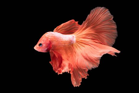 betta: close-up of siamese fighting fish (betta splendens) isolated on black background