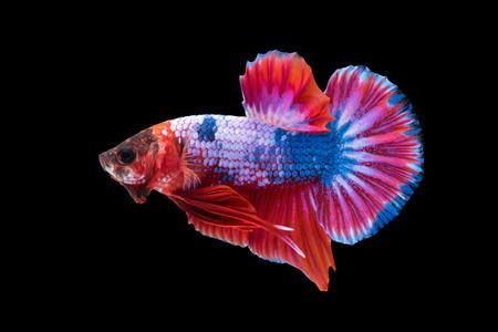Close-up of siamese fighting fish (betta splendens) isolated on black background Stock Photo