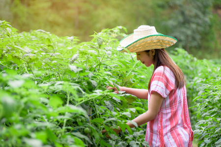 Young Asian woman working in tomatoes field, vegetable garden