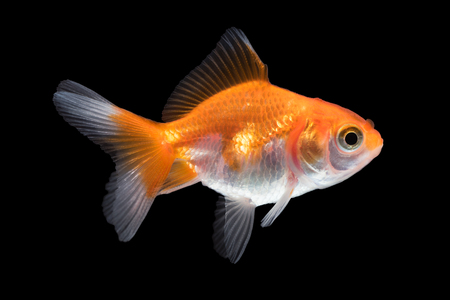 Close-up of goldfish isolated on black Banque d'images