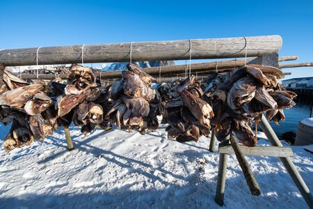 Traditional drying cod fish heads on wooden racks in winter season, Reine fishing village, Lofoten islands, Norway, Europe