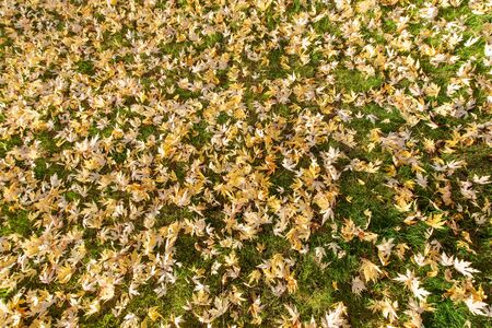 Many yellow maple leaves fell on the ground in autumn season