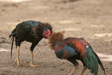 fighting cock: fighting cock